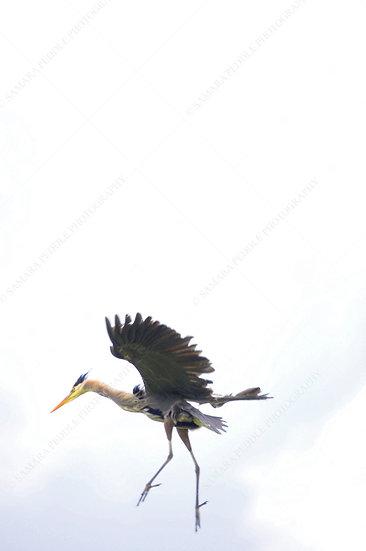 Heron Dancing On The Wind