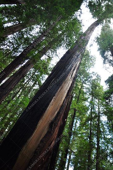 Redwood Layers