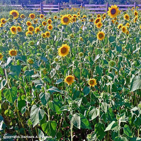 Duke Farms Sunflowers