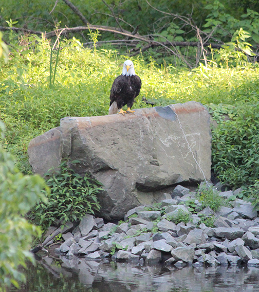 Rocky Hill Eagle for Web