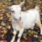 goat.png