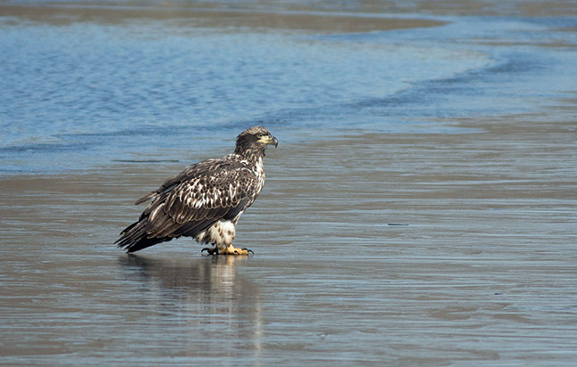 Lake Carnegie Juv Eagle