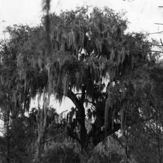 Treaty Oak at Moultrie Creek (1956)