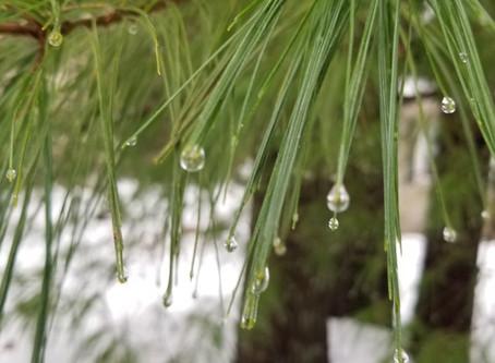 Conferring Conifers