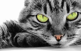 De Eenhoorn Dierenhomeopathie Zeeland in Kapelle consulten in Zuid-West Nederland door Annet Hannewijk. Homeopathie voor katten.
