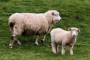 De Eenhoorn Dierenhomeopathie Zeeland in Kapelle consulten in Zuid-West Nederland door Annet Hannewijk. Homeopathie voor schaap.