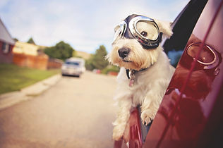 west highland white terrier with goggles