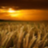 wheat-field-at-sunset-istockphoto.jpg