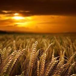 wheat-field-at-sunset-istockphoto.jpg
