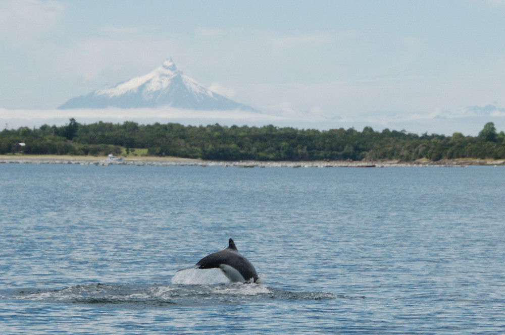 Chilean dolphin in front of Patagonia´s vulcanos (photo: Sonja)