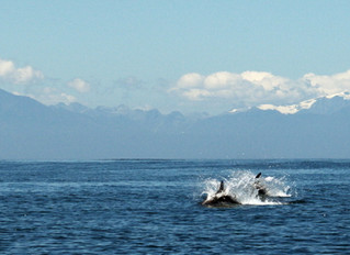 A day at 'work' surveying dolphins... Surprises, suspense and action!