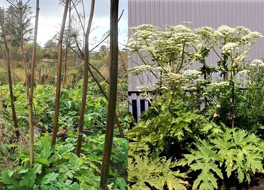 Typical Giant Hogweed growth in various seasons