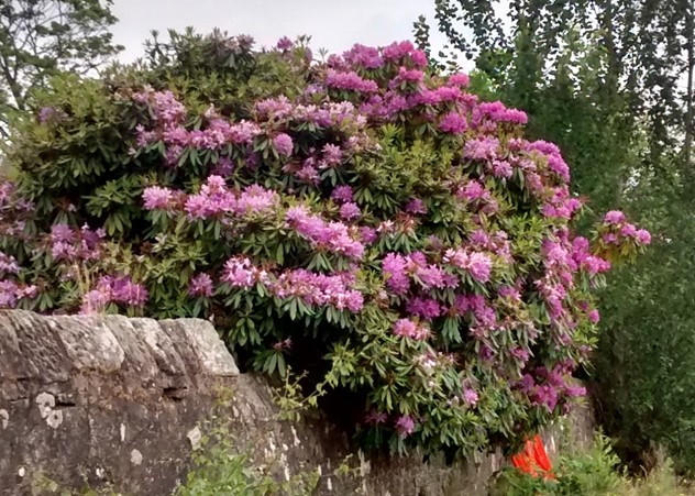 Rhododendron ponticum in flower, growing out of a wall