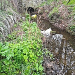 Baby giant hogweed plants growing by a stream