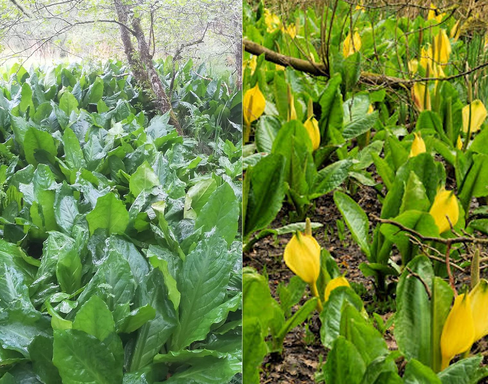 American Skunk Cabbage in flower and after flowering