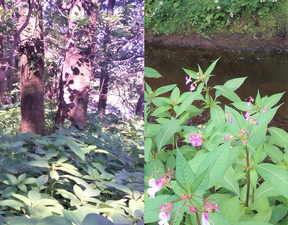 Himalayan Balsam is typically found near watercourses but also in wooded areas