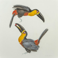 Ariel Toucans Charcoal and watercolour