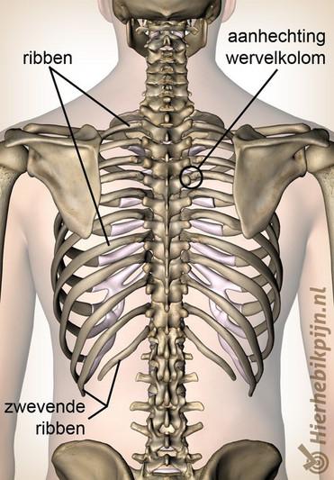 Illustratie van ribben achteraanzicht