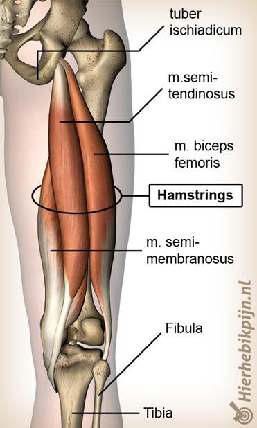 boven hamstrings illustratie voor fysiotherapie