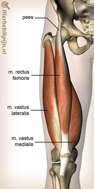 been-quadriceps-spier-rectus-femoris-vas