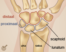pols-proximale-distale-rijpng