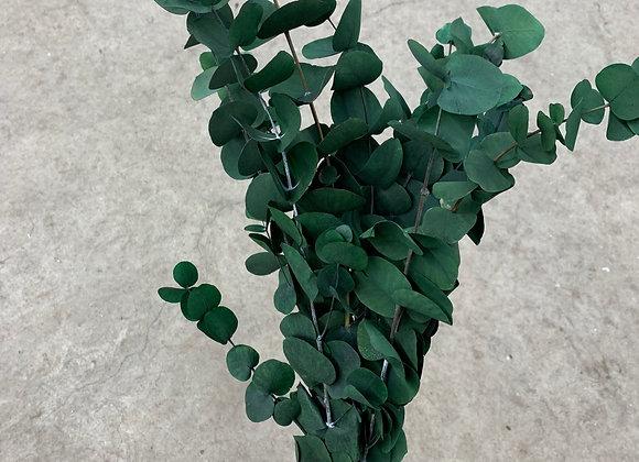 Eukalyptus Cinera
