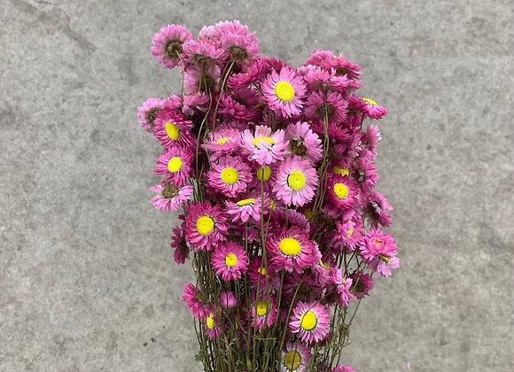 Acroclinium rosa