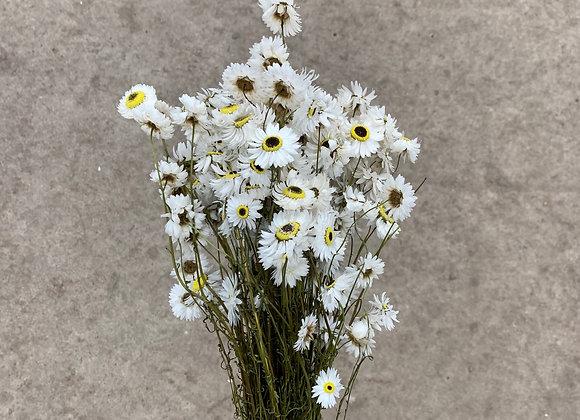 Acroclinium weiß