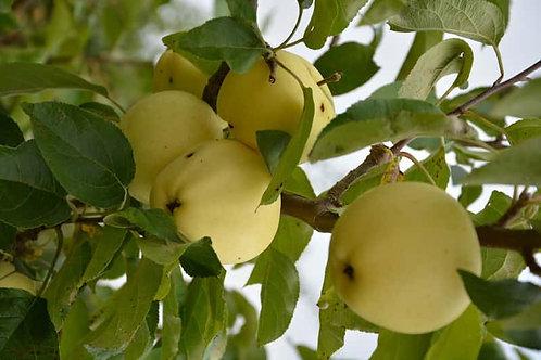 Jabłoń Oliwka żółta - Papierówka
