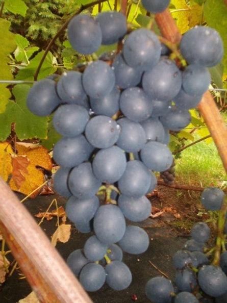 Winorośl deserowa -Agat Doński