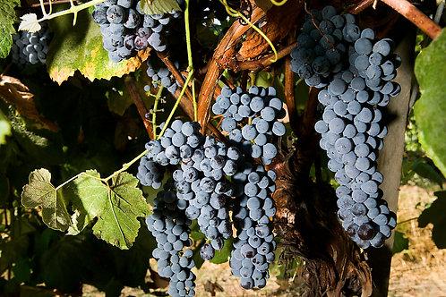 Winorośl Winogrona czerwone Leon Millot