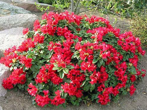 Rhododendron Różarecznik Bengal