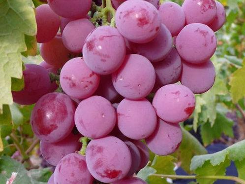 Winorośl deserowa bezpestkowa Reliance