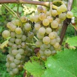 Winorośl przerobowa Solaris