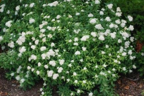 Tawuła japońska Albiflora