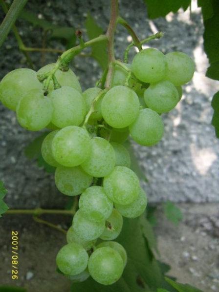 Winorośl deserowa -Talizman