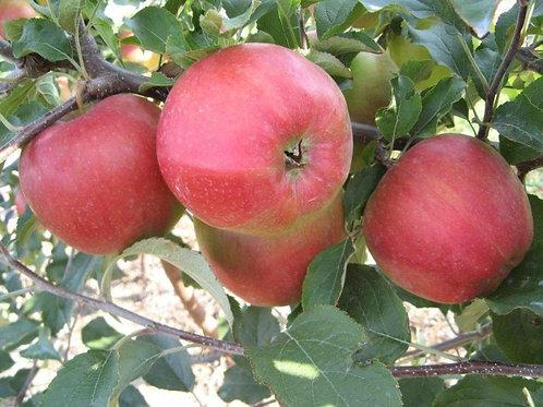 Jabłoń Elise - Eliza