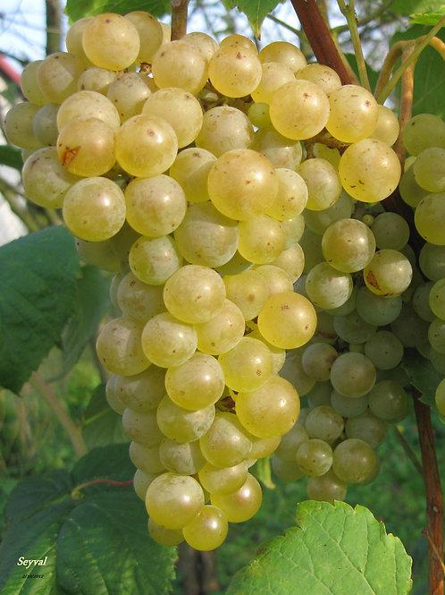 Winorośl biała Seyval Blanc