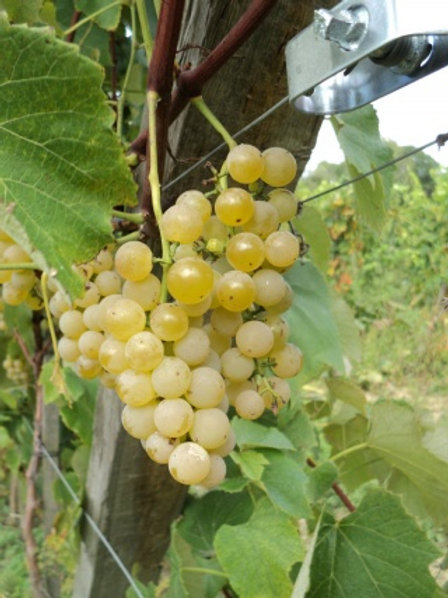 Winorośl przerobowa Adalmiina