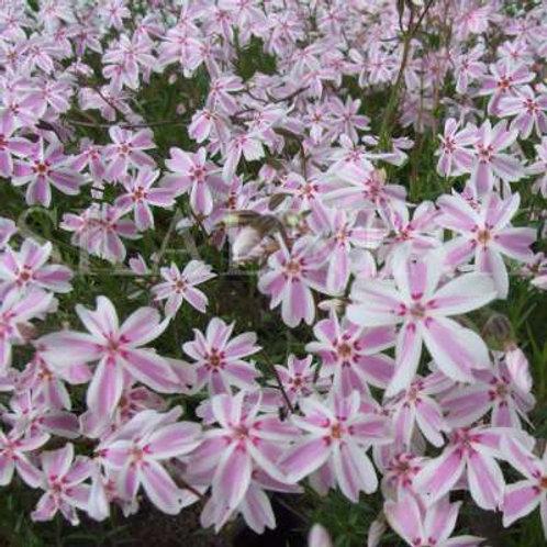 Płomyk Floks Szydlasty Biało-Różowy