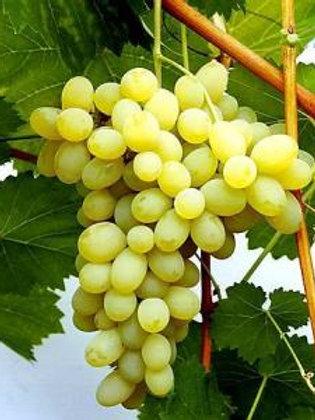 Winorośl przerobowa Muskat Odesskij