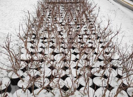 Zimowanie krzewów owocowych.