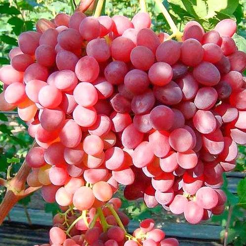 Winorośl różowa bezpestkowa Einset Seedless