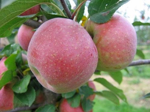 Jabłoń Florina