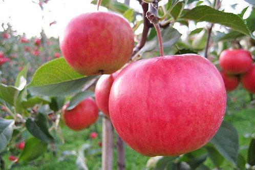 Jabłoń Piros