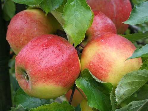 Jabłoń Jonagored