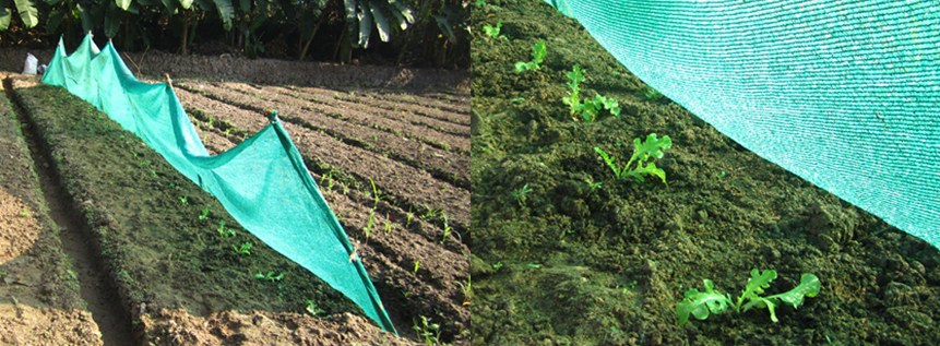 Figure 3: Shade net can help protect newly transplanted saplings from heat