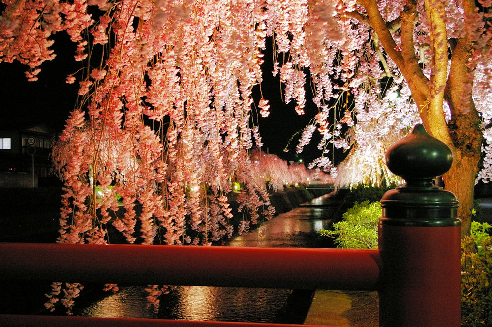 Light up the weeping cherry tree.jpg