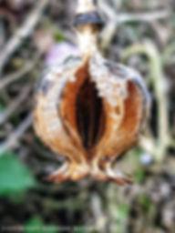 vulvu plant.jpg