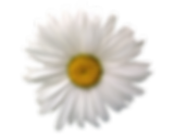 marguerite-1506796_1280.png